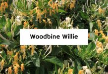 Woodbine Willie